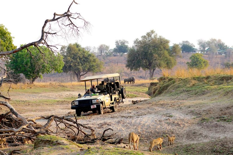 puku ridge lodge-south-luangwa-national-park-lodges-zambia-in-style-location-game-drive-lions