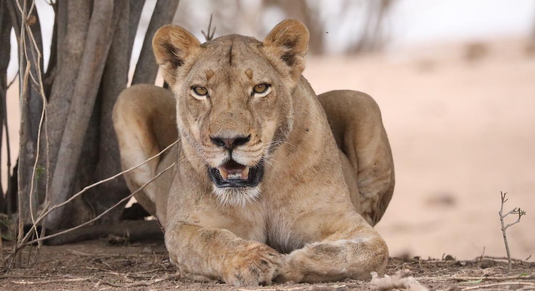 chilo lion