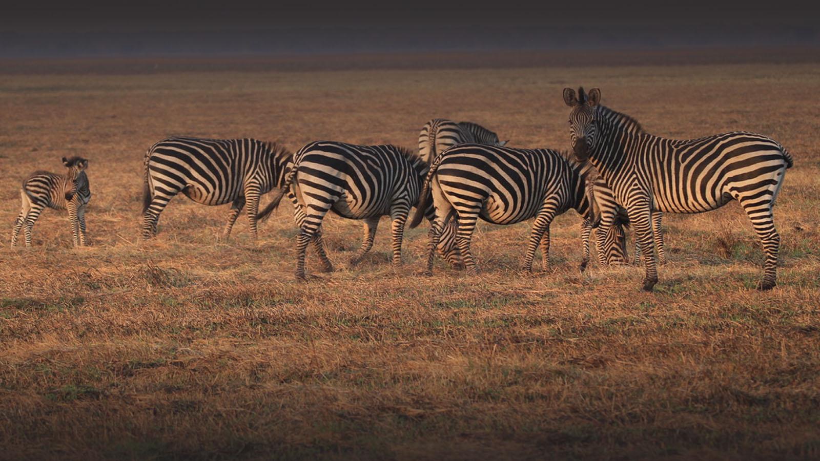 chisa busanga camp kafue-national-park-lodges-zambia-in-style-beautiful-bush-camp-wildlife-zebra